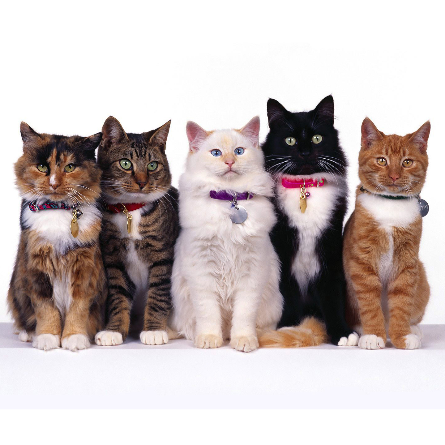 Multiple cats of different breeds