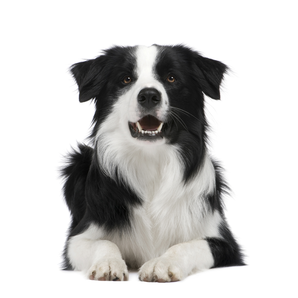 dog-Border Collie