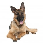 German shepherd (13 months old)