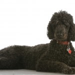 standard poodle laying down