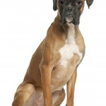 Boxer, twelve months old, sitting, white background.